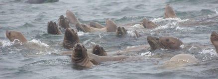 Jubatus salvaje del Eumetopias de los leones marinos del steller en el ne de la isla de Tuleniy fotografía de archivo libre de regalías