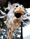 Jubeln Sie oben zu! von einer Giraffe Stockfotos