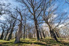 Jubilant oak trees - spring is coming back to Sweden Royalty Free Stock Photo
