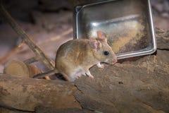 Jucznego szczura obsiadanie stali nierdzewnej karmową tacą na ziemi obraz royalty free