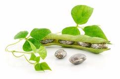 Judías maduras con el germen y las hojas aislados Imagen de archivo libre de regalías