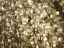 Judas pieces of silver  (Lunaria annua). Honesty seeds look like silver thaler Royalty Free Stock Photography