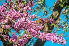 Judas stree, cercis siliquastrum pink flowers Royalty Free Stock Images