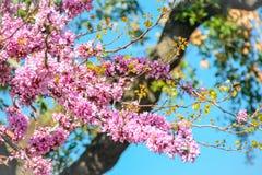 Judas stree, cercis siliquastrum pink flowers Stock Photo