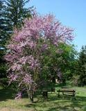 Judas-tree. A judas-tree (Cercis siliquastrum) and a bench Stock Photos