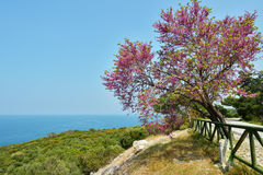 Judas tree against the sea. In the Dilek national park, Turkey Royalty Free Stock Image