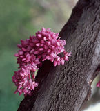 Judas Tree aka Redbud Tree Close Up. Close up shot of redbud blossoms growing directly from trunk of tree also known as the Judas tree. Cercis canadensis is a Royalty Free Stock Image