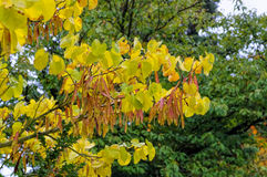 Judas tree in autumn Stock Photo