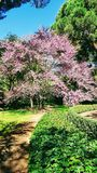 Judas tree in blossom. Colorful Judas tree on a light spring morning at the park Stock Images
