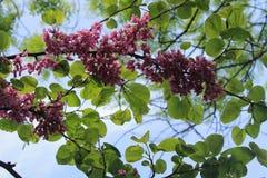 Judas tree blossom Royalty Free Stock Images
