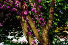 Judas tree with blossom pink flowers and inflorescences and green leaves in spring, outside in park