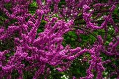 Judas tree blossom in springtime Stock Images