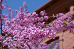 Judas tree branches against building Stock Images