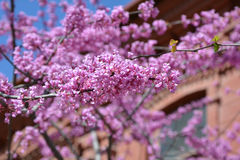 Judas tree branches against building Stock Photography