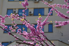 Judas tree branches against building Stock Image