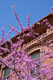 Judas tree branches against red building Stock Photo