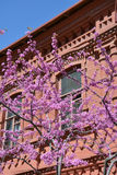 Judas tree branches against red building Stock Photos