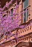 Judas tree branches against red building Royalty Free Stock Photo
