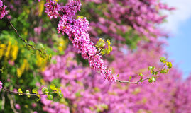 Judas tree-cercis Stock Images