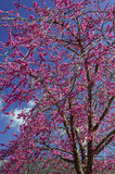 Judas tree-Cercis siliquastrum Stock Photos