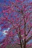 Judas tree-Cercis siliquastrum. Image shows a tree full of violet flowers (cercis siliquastrum Stock Photos