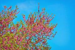 Judas Tree (Cercis Siliquastrum) Stock Images