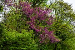 Judas tree or Cercis siliquastrum in bloom. Between green trees Royalty Free Stock Images