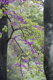Judas tree Stock Photo