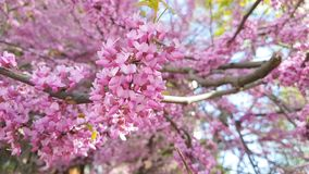 Closeup of pink flower clusters of an Eastern Redbud tree in full bloom. Judas tree or Cercis siliquastrum in spring. Light breeze. сJudas tree or Cercis stock footage