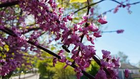 Closeup of pink flower clusters of an Eastern Redbud tree in full bloom. Judas tree or Cercis siliquastrum in spring. Light breeze. сJudas tree or Cercis stock video