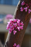 Judas tree closeup Stock Photos