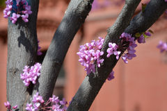 Judas tree closeup Royalty Free Stock Images