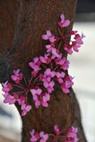 Judas tree closeup Royalty Free Stock Photos