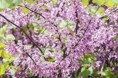Judas tree flower (Cercis siliquastrum) Stock Images