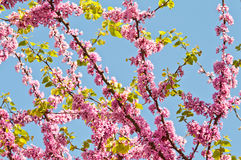 Judas Tree Flower And Leaves Stock Photos