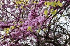 Judas Tree Flower Royalty Free Stock Images