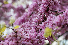 Judas Tree Flower Stock Photos