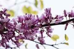 Judas Tree Flower Stock Photos