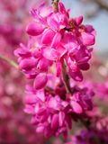 Judas tree flowers. With blur background Royalty Free Stock Photo