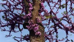 Judas Tree, Liefdeboom, Cercis Siliquastrum, Bevallige Boombloesem in de Lente stock videobeelden