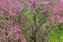 Judas tree med härliga rosa blommor Fotografering för Bildbyråer