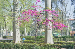 Judas tree. In a park in Florence Royalty Free Stock Photography