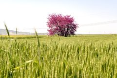 Judas tree in spike field. In sunny day Royalty Free Stock Photos