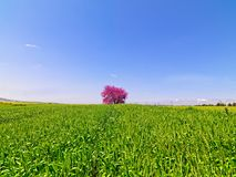 Judas tree in spike field. In sunny day Stock Photos