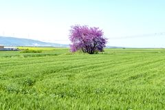 Judas tree in spike field. In sunny day Stock Photography