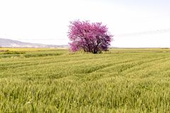 Judas tree in spike field. In sunny day Stock Images