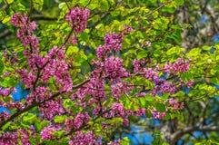 Judas tree in spring Royalty Free Stock Photos