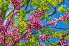 Judas tree in spring Stock Photos