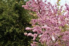 Judas tree spring blossom. Royalty Free Stock Image