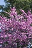 Cercis siliquastrum Judas tree spring blossom. Judas tree spring purple blossom stock image